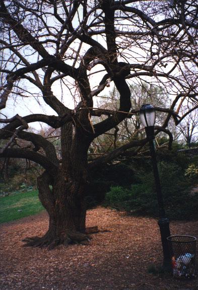 http://www.kith.org/logos/pix/photos/trees/tree.cloisters.jpg