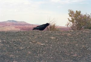 Raven at Petrified Forest
