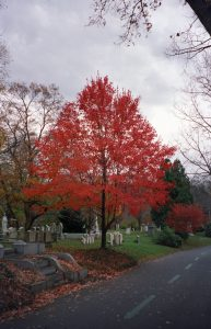Red tree at Mt. Auburn Cemetery