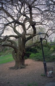Tree outside Cloisters